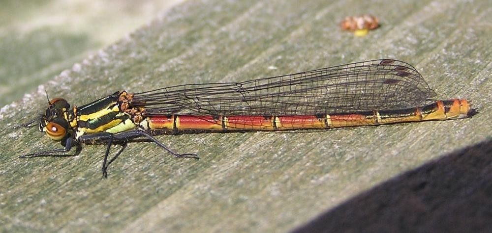 Photo: Large Red Tailed Damsel Fly
