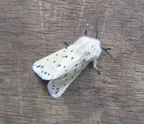 Photo: White Ermine Moth