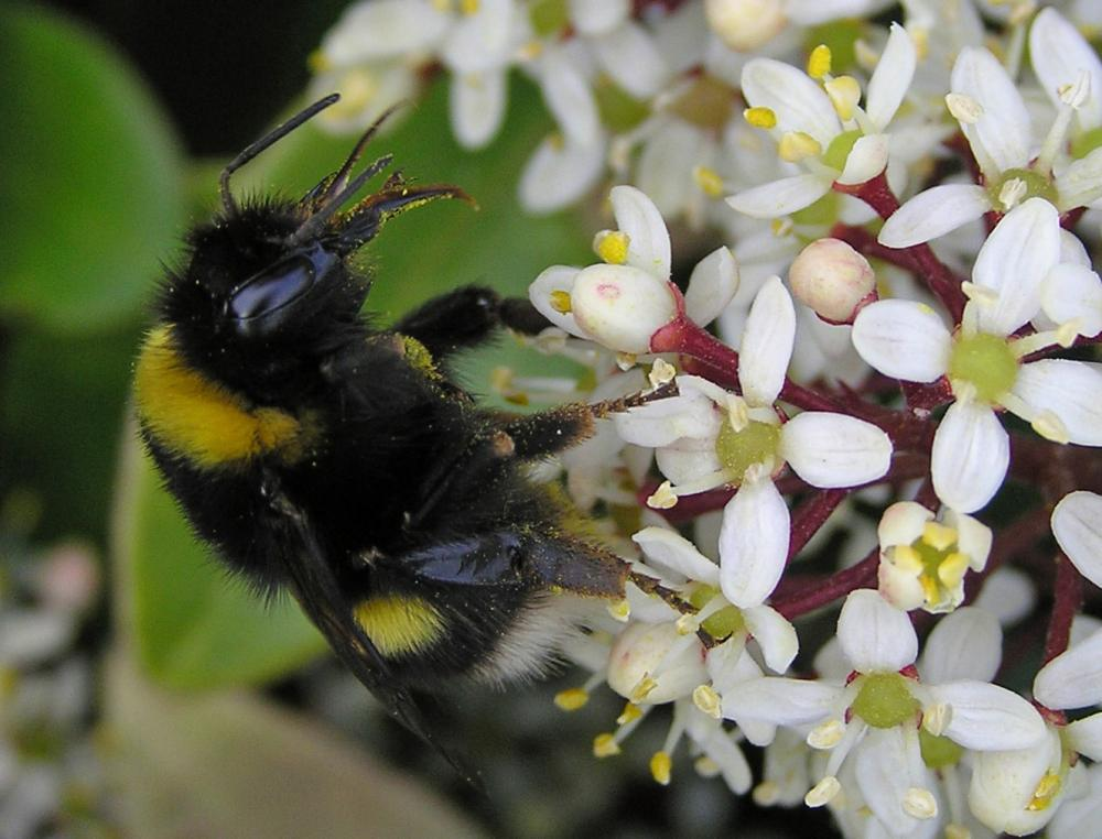 Photo: Bombus cryptarum - Renamed after more positive identification
