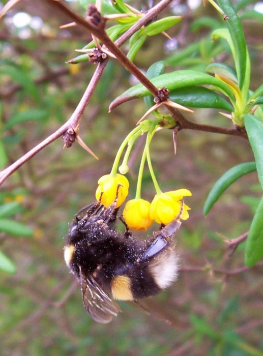 Photo: White Tailed Bumble Bee