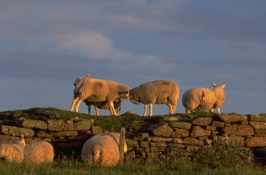 Photo: Sheep