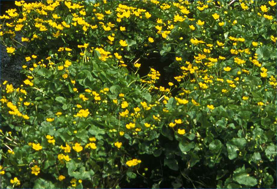 Photo: Marsh Marigold