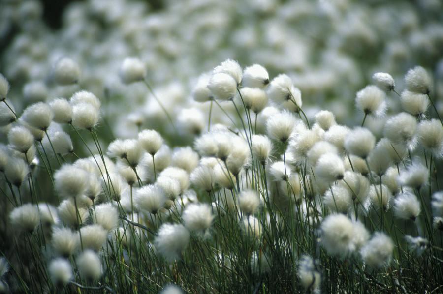 Photo: Bog Cotton