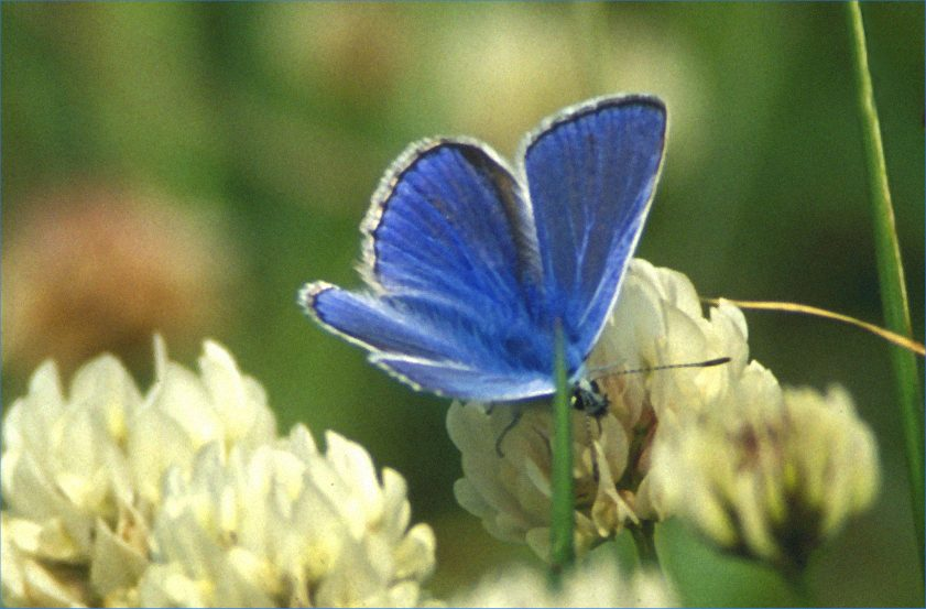 Photo: Common Blue On Clover