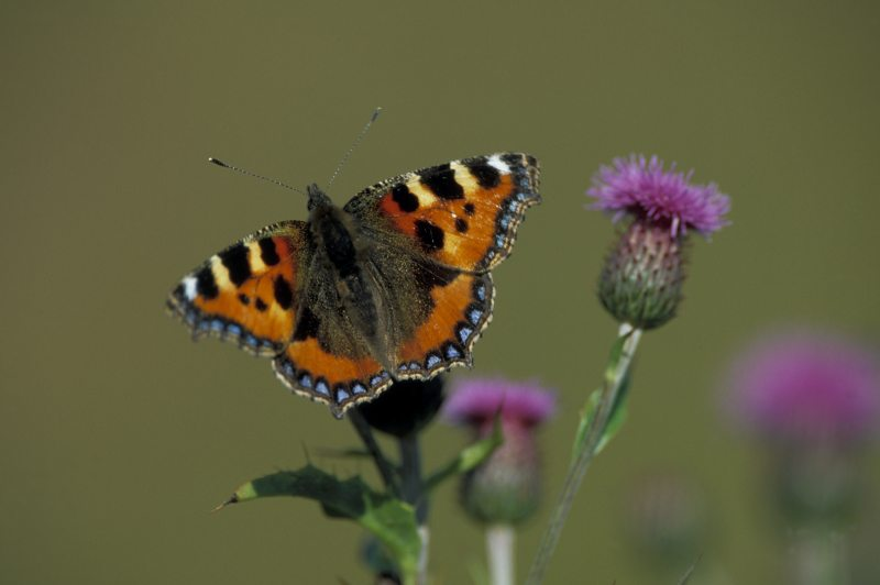 Photo: Small Tortoiseshell Butterfly