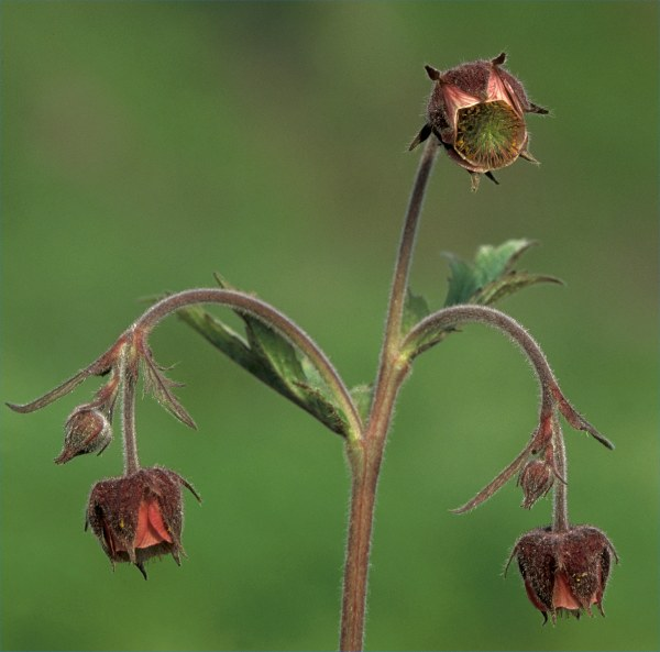 Photo: Water Avens