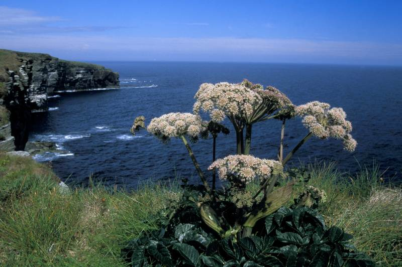 Photo: Wild Angelica