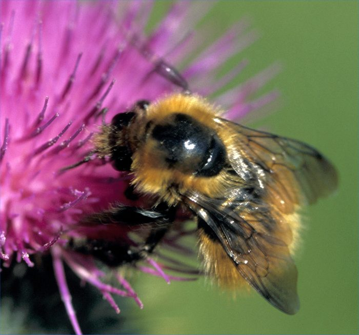 Photo: Bee On A Thistle
