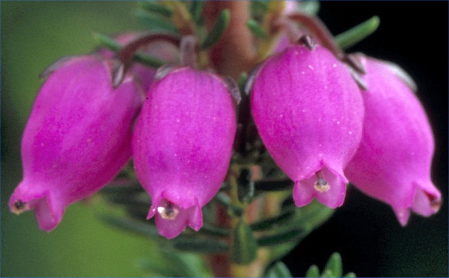 Photo: Bell Heather