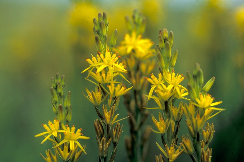 Photo: Bog Asphodel