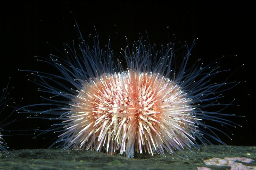 Photo: Common Urchin