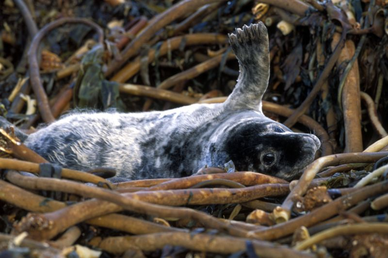 Photo: Grey Seal Pup