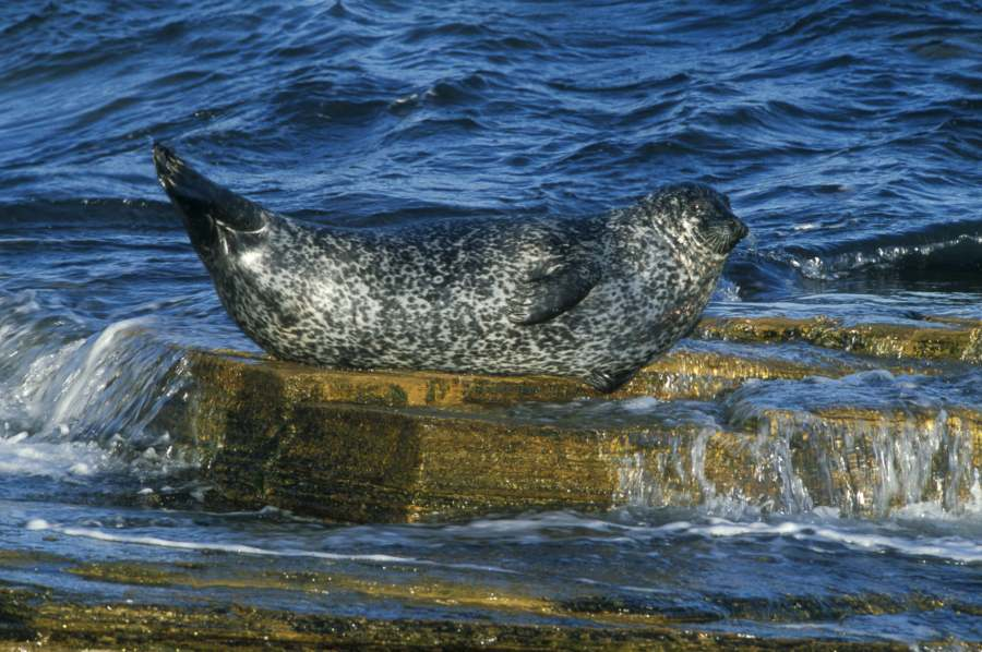 Photo: Grey Seal Resting