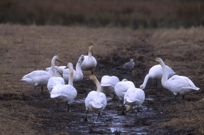 Photo: Hooper Swans Feeding