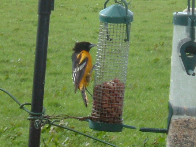Photo: Baltimore Oriole At Huna In Caithness