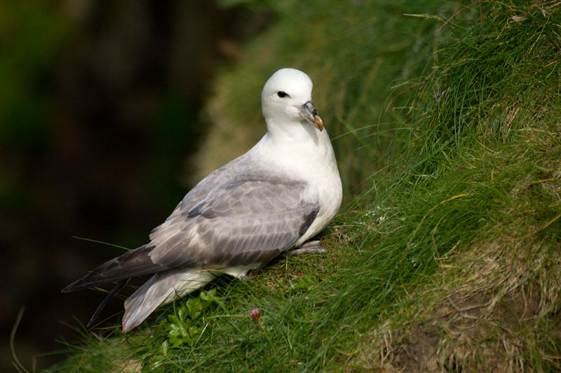 Photo: Fulmar At Duncansby Head 9 June 2007