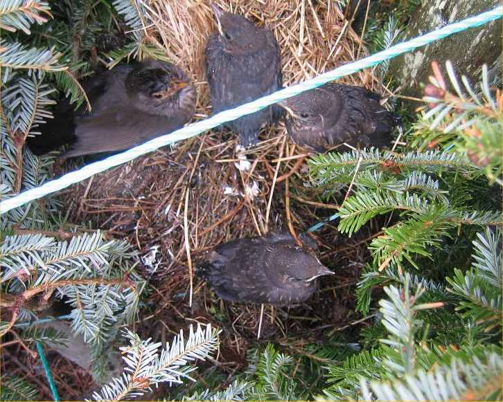 Photo: Baby Blackbirds In A Potted Christmas Tree At Shinval Garden Centre