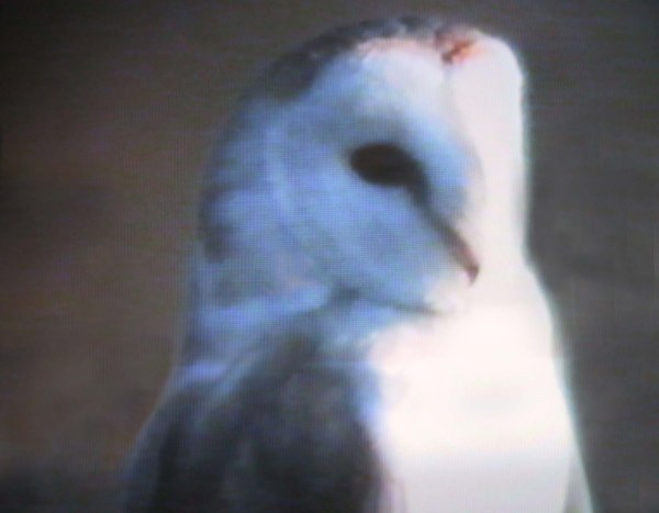 Photo: Barn Owl At St John's Pool