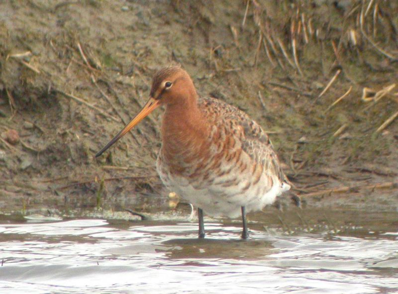 Photo: Black-tailed Godwit At St John's Pool