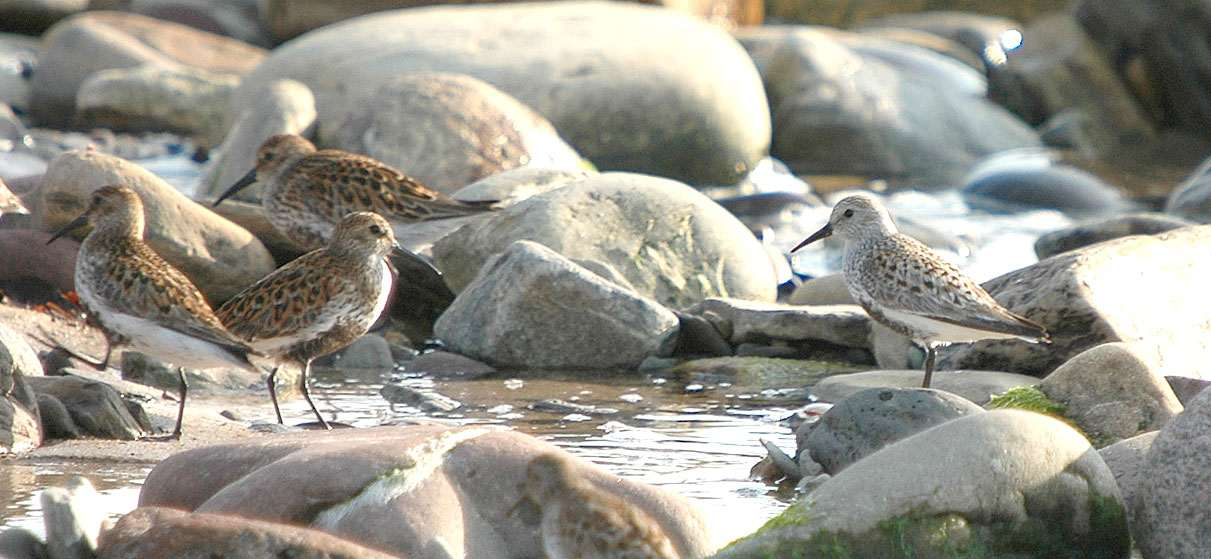 Photo: Dunlin - Caldiris alpina arctica Sandside Beach 11 May 2006