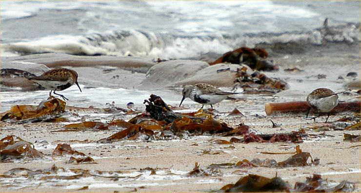 Photo: Dunlin - Possible Arctica At Sandside Beach 26 May 2006