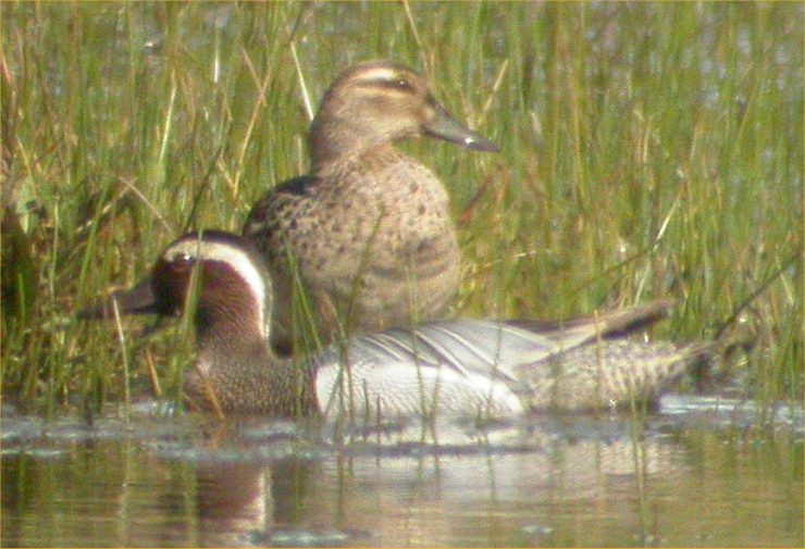 Photo: Garganey Pair St John's Pool 13 May 2006
