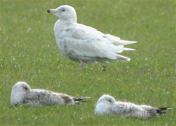 Photo: Glaucous Gull At Noss Head 13 May 2006
