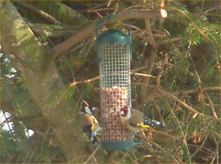 Photo: Goldfinches