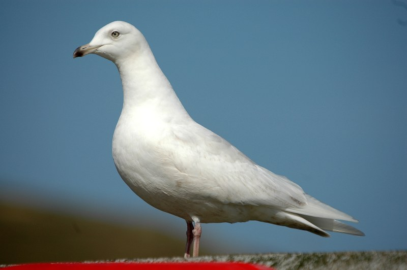 Photo: Iceland Gull - 2nd winter At Scrabster - 29 April 2006