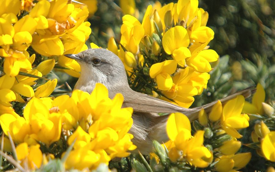 Photo: Lesser Whitethroat Noss Head 9 May 2006