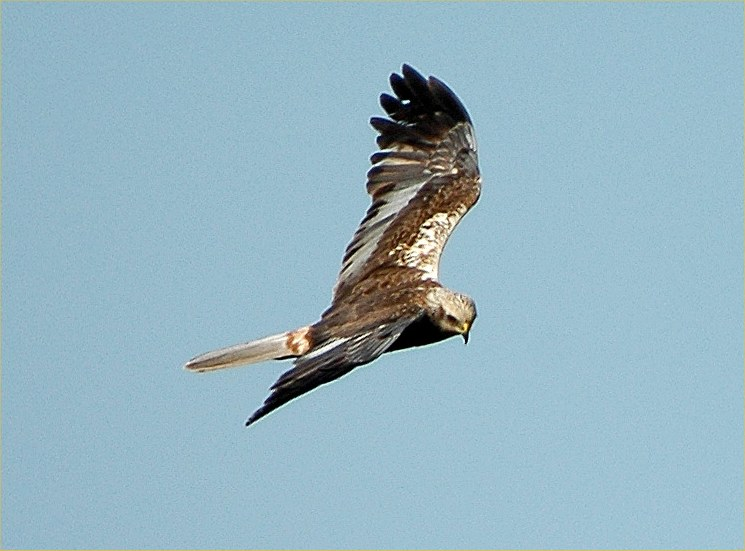 Photo: Marsh Harrier At Loch Calder