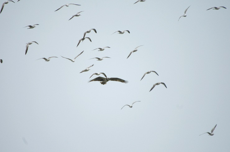 Photo: Osprey Being Mobbed By Gulls Over Sandside