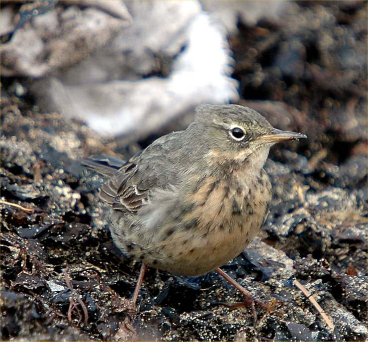 Photo: Rock Pipit At Sandside Beach 22 May 2006