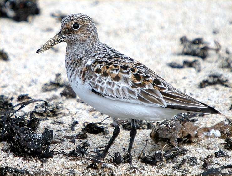 Photo: Sanderling At Sandside Beach