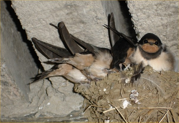 Photo: Young Swallows Overflow the Nest AT Mill House Barn