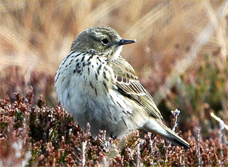 Photo: Tree Pipit at Loch Holistan 13 May 2006