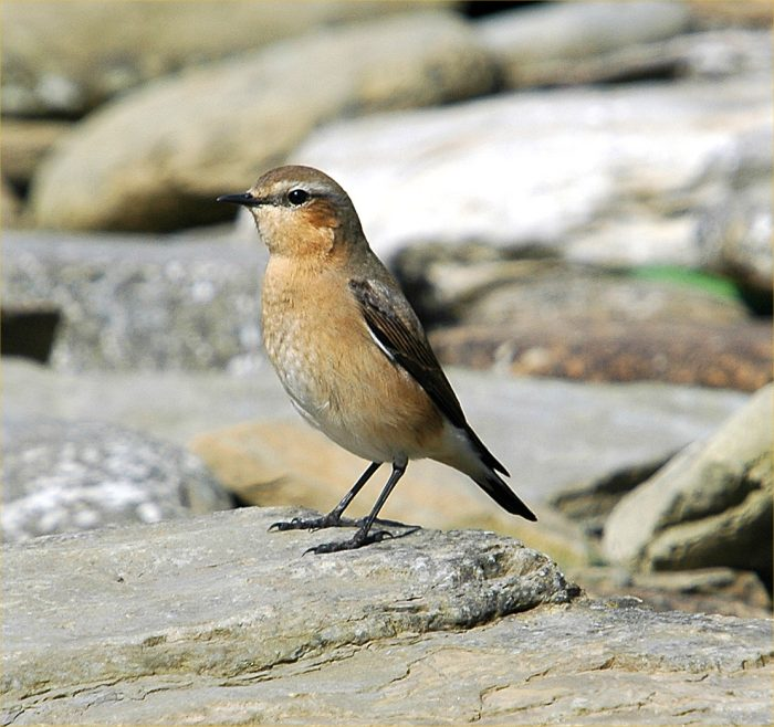 Photo: Greenland Wheatear Female Forss 5 May 2006