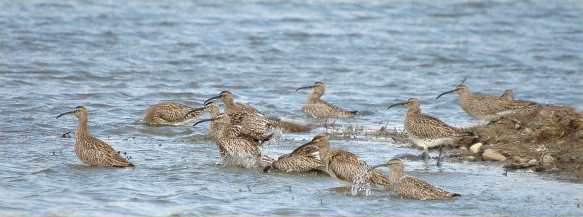 Photo: Whimbrel - St John's Pool 3 May 2006