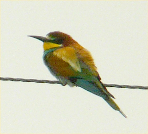 Photo: Bee-eater At Loch Calder