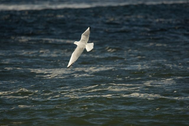 Photo: Bonapartes Gull