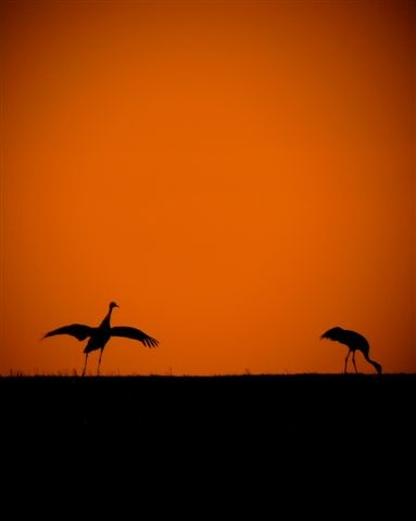 Photo: Common Cranes