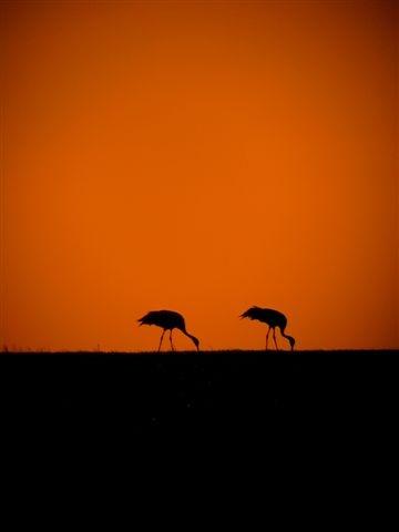 Photo: Common Cranes
