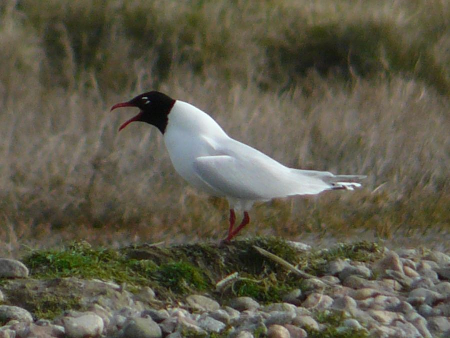 Photo: Mediterranean Gull At St John's Pool