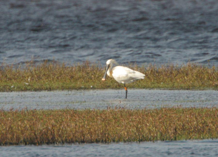 Photo: Spoonbill At Loch Of Mey