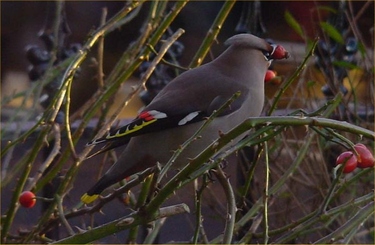 Photo: Waxwing At Bower - 4 January 2005