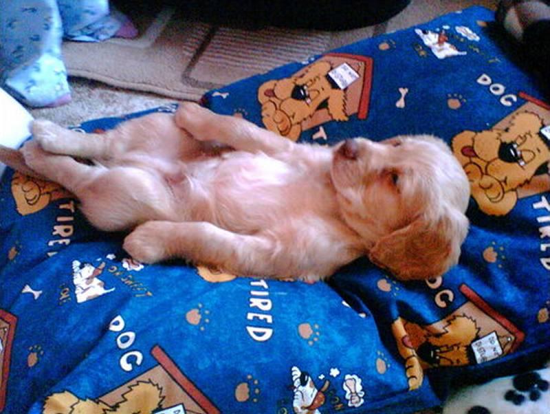 Photo: Golden cocker Spaniel Alfie Aged 8 Weeks