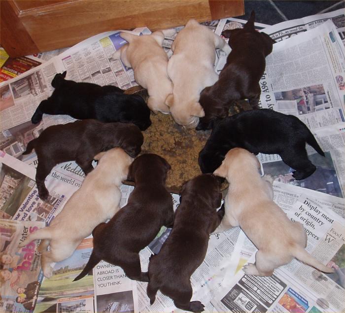 Photo: Labrador Puppies