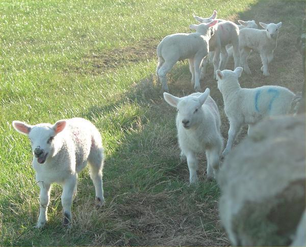 Photo: Lambs Near Lybster
