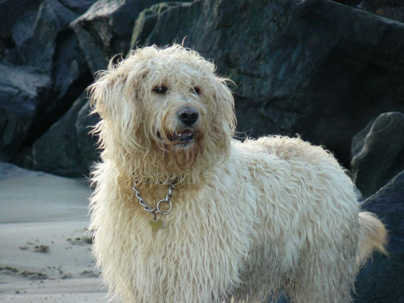 Photo: Bailey - A Labradoodle