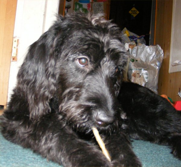 Photo: Bubbles  - A Labradoodle
